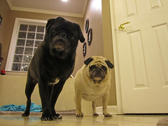 """""""Pugging"""" for the Camera (Just Joe ( I'm back...sort of )) Tags: pets black max cute dogs animals wednesday frank fawn pugs thursday day118 canonpowershot lowangle odc singingdogs project365 jan26 365group musictomyears ourdailychallenge"""