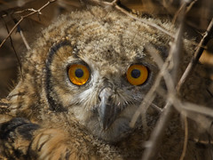Indian Eagle Owl - Juvenile (Tarique Sani) Tags: india bird maharashtra bengaleagleowl nagpur bubobengalensis indianeagleowl saikilakenagpur