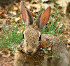 Wild Rabbit (Colorado Sands) Tags: wild usa rabbit bunny bunnies america us colorado unitedstates konijn conejo wildlife denver explore rabbits  rabbitears coelho lapin kaninchen conigli mouthful coniglio  tavan milehighcity wildrabbits explored photoanimalire sandraleidholdt kelinci cityandcountyofdenver leidholdt truwelon