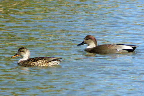 arizona gadwall pair