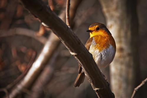 フリー写真素材, 動物, 鳥類, ヒタキ科, ヨーロッパコマドリ・ロビン,