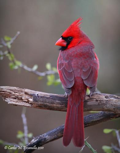 Northern Cardinal  IMG_8621edtvgtx300dpi