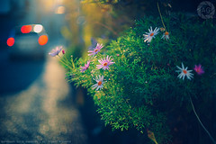 Daisys at day's end: Motomachi, Yokohama (Alfie | Japanorama) Tags: flowers sunset red flower nature sunshine japan japanese nikon bokeh streetphotography motomachi kanagawa carlights taillights daisys japanorama d700 alfiegoodrich nikkor50mmf12ai
