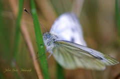Pieris Napi (rhasalgheti) Tags: macro butterfly nikon sigma 180 galicia mariposa insecto pieris bolboreta pierisnapi