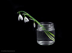 Three Drops (CunoCyn) Tags: flowers school green ice water glass digital project studio photography lights soft assignment vase snowdrops weekly lighttent dps photon canon60d canon1585mm cunocyn cynfelyn nancarrowlei