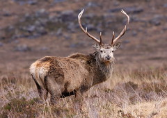 Red Deer Stag (Ally.Kemp) Tags: winter red wild mountains scotland ross highlands stag wildlife scottish glen deer antlers highland stags torridon wester monarc