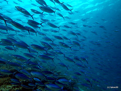 School of Dark-banded fusilier -  Maldives