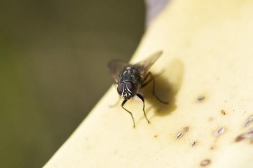 mosca de invierno