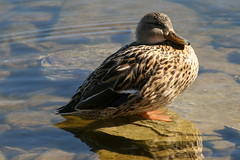 Waterfowl in Winter: Female Mallard in Shallow Water