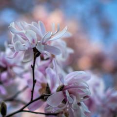 perfect beauty (nosha) Tags: pink flowers blue sky usa flower nature beautiful beauty garden newjersey spring nikon purple bokeh nj mercer magnolia february mercercounty pennington 2010 lightroom nosha nikond40 12000secatf20