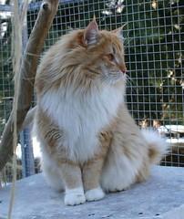 IC. RUFUS BLUE TANIS (Gatti Del Freddo - NFC) Tags: cats del norwegian gatto freddo gatti delle cuccioli foreste norvegese norvegien norvegesi gattidelfreddo
