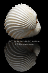 Rudicardium, cockles (josepmpenalver) Tags: ocean sea macro beauty marine close decoration shell clam shore single seashell isolated saltwater conch mollusk bivalve cockle cardiidae heterodonta veneroidea jmpfotocom rudicardium