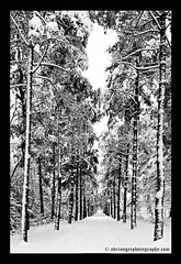 vanishing point (adriangeephotography) Tags: trees snow photography vanishingpoint perspective adrian gee brookwood adriangeephotography