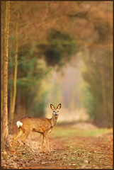 The walk down Memory Lane (hvhe1) Tags: winter sunset nature animal forest forestry wildlife natuur deer memory bos depth roedeer ree grazer specanimal hvhe1 hennievanheerden