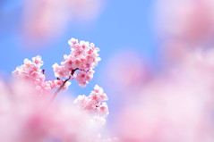 Sakura / Here Comes the Sun (*Sakura*) Tags: pink flower nature japan tokyo  sakura cherryblossoms  earlyspring