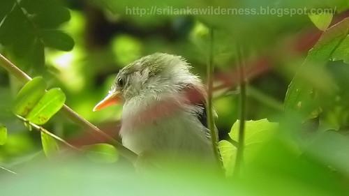 Common Tailorbird (Orthotomus sutorius)Babies