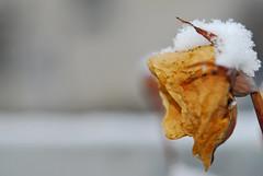 Tutto secco (Michi (Friuli)) Tags: photo foto rosa giallo neve friuli secco appassit