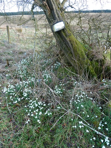 Spring snowdrops by roadside