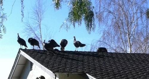 turkeys gene nokes dublin