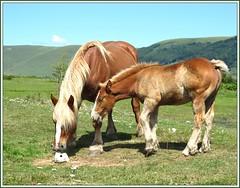 Confidences... (annieclic (absente)) Tags: nature cheval deux auvergne tendresse douceur cantal quadrupde