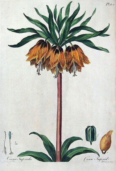 fritillaria_imperialis