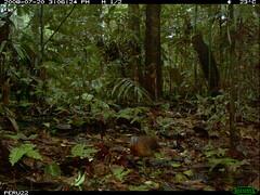 Variegated Tinamou (siwild) Tags: largebirds file:name=img0009jpg sequence:index=1 sequence:length=2 siwild:study=peruocelotsurvey siwild:studyId=arabelasets siwild:plot=arabela geo:locality=northernperu taxonomy:group=largebirds siwild:location=perulocm siwild:camDeploy=perudeploy34 sequence:key=1 siwild:region=peru variegatedtinamou crypturellusvariegatus taxonomy:species=crypturellusvariegatus taxonomy:common=variegatedtinamou siwild:date=200807201506240 siwild:trigger=perubirdstaff2383 siwild:imageid=8062 sequence:id=perubirdstaff2383 file:path=epuntom719823peru22img0009jpg siwild:species=323 BR:QCID=5493805136 BR:batch=sla1220110304035437