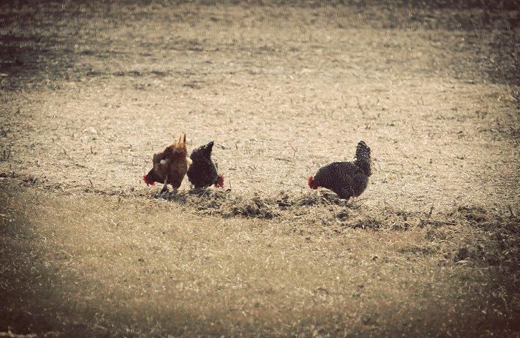 03-02-chickens