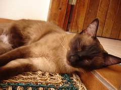 viscoelstico (cabenedet) Tags: gato gata felino siams viscoelstico