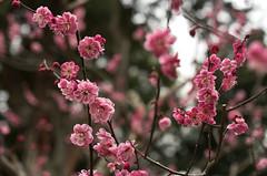 Red Plum@Kitano-tenmangu (maida0922) Tags: 35mm blossom plum flektogon k5 北野天満宮 梅 f24