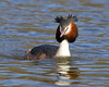 Grebe 2 (Andrew Haynes Wildlife Images) Tags: bird nature wildlife coventry warwickshire brandonmarsh canon7d ajh2008