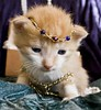 20100816_02027b (Fantasyfan.) Tags: pet baby cute animal topv111 topv2222 tag3 taggedout furry topv555 topv333 kitten pretty tag2 tag1 topv1111 topv999 fluffy prince jewelry topv777 bling decorated accessory tuho fantasyfanin siirretty