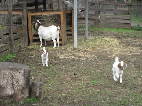 Baby Goats with a Pregnant Mama