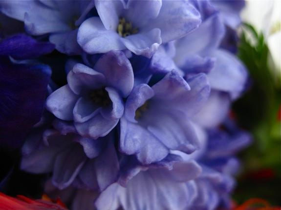 lavender hyacinth 002