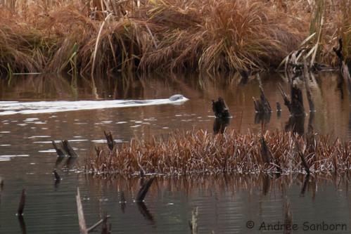 Otters in the Beaver Bog   -19.jpg