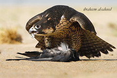 -  (sahoodvich) Tags: life wild bird animal sport canon fly hunting flight arab falcon kuwait arabian ibrahim  khaled   q8        2011     barlin     arbian     gyer             sahoodi   alsahood sahoodvich   alhawedi