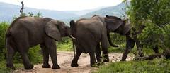 Young boys play (Christine Lamberth) Tags: africa camera travel nature canon mammal photographer wildlife christine hide trunks africanelephants tusk kwazulunatal jostling lamberth youngbulls amakhosireserve