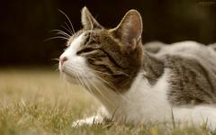 Bélus (Kovács Krisztián Short) Tags: cat gato katze macska kovács krisztián bélus