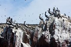 Piqueros and Peruvian booby (Francesco Muratori) Tags: panorama peru per pisco paracas cormorani canon70300 islasballestas piqueros peruvianbooby isoleballestas ballestassisle