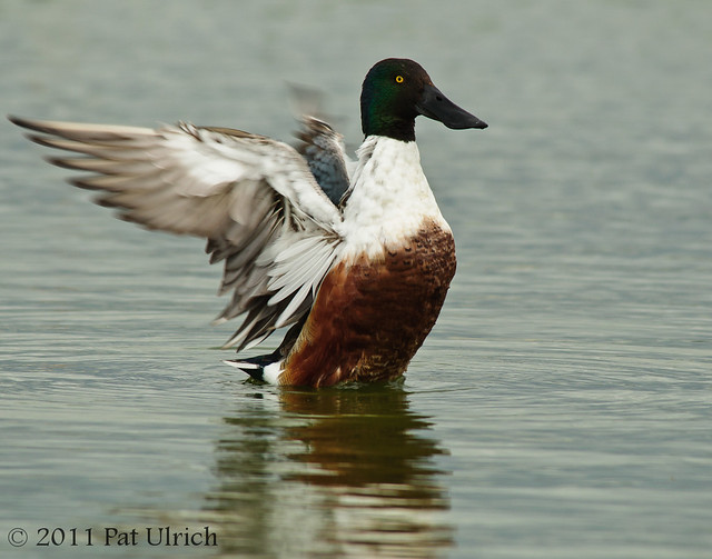 Stretching northern shoveler - Pat Ulrich Wildlife Photography