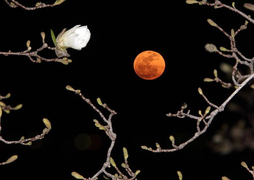 Super Moon and Blossom along Potomac River
