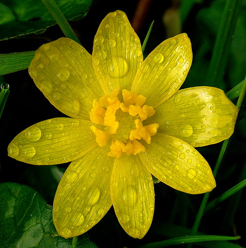 Pentax K20D.28-80mm SFX Macro Lens.Lesser Celandine Flower In The Bog.March 20th 2011.