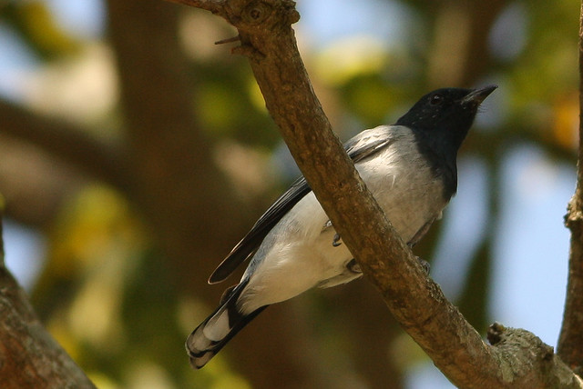 Black headed Cuckoo Shrike