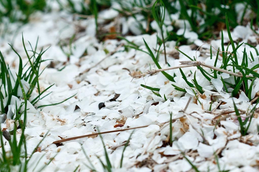 "Spring ""Snow"""