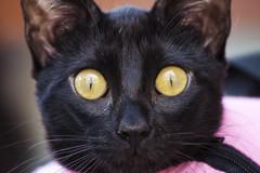 Te veo (Iaki Couceiro) Tags: black yellow cat canon eyes ojos gato gata amarillos 400d