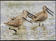 Asiatic Dowitchers (Rey Sta. Ana) Tags: birds philippines cebu olango reystaana