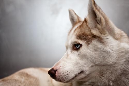 [フリー画像] 動物, 哺乳類, イヌ科, 犬・イヌ, シベリアン・ハスキー, 201103271100