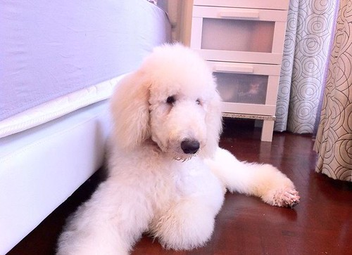 A Big Hello From Singapore Poodle Forum