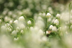 return to the snowflake forest (**MIKA**) Tags: flower nature snowflakes spring jena m42 leucojum schneeglöckchen springflower carlzeiss carlzeissjena märzenbecher frühlingsblüher vernum groses carlzeissjenasonnarmc135mmf35 märzglöckchen erdengrund sonnarmc135mmf35