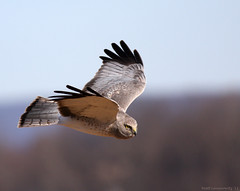 Northern Harrier (mattlev12) Tags: