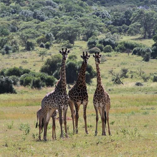 Giraffe, sublime